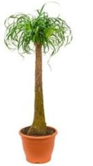 Plantenwinkel.nl Beaucarnea recurvata Stam XL kamerplant