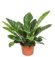 Plantenwinkel.nl Anthurium jungle king L kamerplant