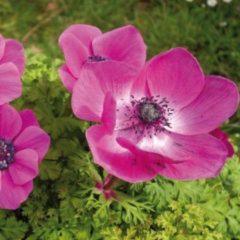 Moestuinenbloem.nl Anemone (Anemoon) bloembollen - Sylphide - 2x50 stuks