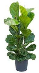 Plantenwinkel.nl Ficus lyrata L kamerplant