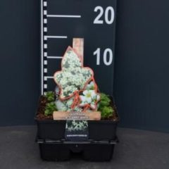 "Plantenwinkel.nl Steenbreek (saxifraga arendsii ""Carpet White"") bodembedekker - 4-pack - 1 stuks"