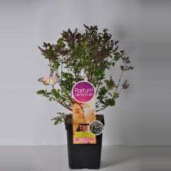 "Plantenwinkel.nl Dwergsering (syringa meyeri ""Palibin""Parfum de Nature)"