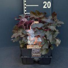 "Plantenwinkel.nl Purperklokje (heuchera micrantha ""Palace Purple"") bodembedekker - 6-pack - 1 stuks"