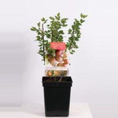 """Plantenwinkel.nl Rode kruisbes (ribes uva crispa """"Hinnonmäki Röd"""") fruitplanten - In 5 liter pot - 1 stuks"""