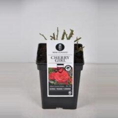 "Plantenwinkel.nl Trosroos (rosa ""Cherry Girl""®)"