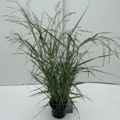 "Plantenwinkel.nl Vingergras (Panicum virgatum ""Prairie Sky"") siergras - In 3 liter pot - 1 stuks"