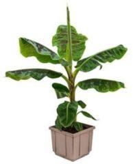 Plantenwinkel.nl Bananenplant musa dwarf cavendish M kamerplant