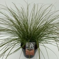 "Plantenwinkel.nl Zegge (Carex testacea ""Prairie Fire"") siergras - In 5 liter pot - 1 stuks"