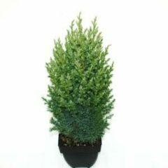 """Plantenwinkel.nl Chinese jeneverbes (Juniperus Chinensis """"Stricta"""") conifeer - 6 stuks"""