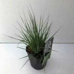 "Plantenwinkel.nl Pijpenstrootje (Molinia caerulea ""Edith Dudszus"") siergras - 6 stuks"