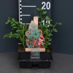 Plantenwinkel.nl Dwergmispel (cotoneaster dammeri) bodembedekker - 4-pack - 1 stuks