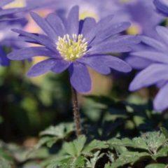 Moestuinenbloem.nl Anemone (Anemoon) bloembollen - Blauw - 2 x 100 stuks