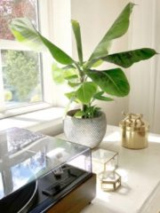 Blauwe Plantenwinkel.nl Plantenwinkel Bananenplant Musa dwarf cavendish XS plant in pot fay blue gold