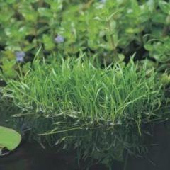 Moerings waterplanten Braziliaanse grasplant (Lilaeopsis Brasiliensis) zuurstofplant - 10 stuks