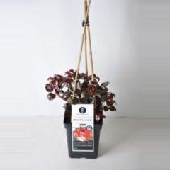 """Plantenwinkel.nl Grootbloemige klimroos (rosa """"Broceliande""""®)"""