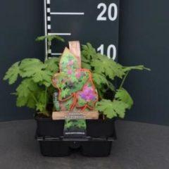 Plantenwinkel.nl Ooievaarsbek (geranium macrorrhizum) bodembedekker - 4-pack - 1 stuks