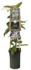 "Plantenwinkel.nl Roze bosrank (Clematis armandii ""Apple Blossom"") klimplant - 4 stuks"