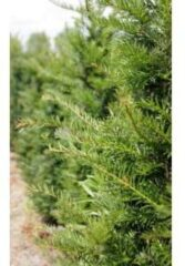 Tuinexpress Taxus Baccata 40-60 cm