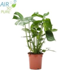 WoonQ Monstera Deliciosa 'Gatenplant' - Set van 1 of 2 stuks