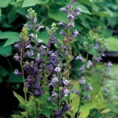 Moerings waterplanten Virginische lobelia (Lobelia siphilitica) moerasplant - 6 stuks