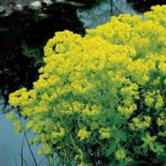 Moerings waterplanten Moeraswolfsmelk (Euphorbia palustris) moerasplant - 6 stuks