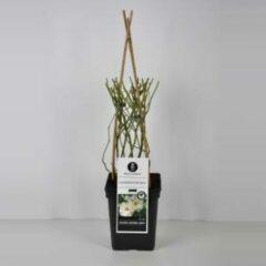 """Plantenwinkel.nl Klimroos (rosa """"Schneewittchen""""®)"""