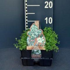 Plantenwinkel.nl Laurentia (isotoma fluviatilis) bodembedekker - 6-pack - 1 stuks