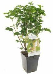 """Plantenwinkel.nl Witte bes (ribes rubrum """"Witte Parel"""") fruitplanten - In 5 liter pot - 1 stuks"""
