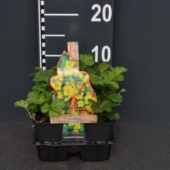 Plantenwinkel.nl Goudaardbei (waldsteinia ternata) bodembedekker - 4-pack - 1 stuks