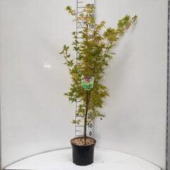 "Plantenwinkel.nl Japanse esdoorn (Acer palmatum ""Sangokaku"") heester - 60-80 cm - 8 stuks"