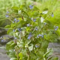 Moerings waterplanten Beekpunge (Veronica beccabunga) moerasplant - 6 stuks
