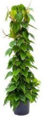 Plantenwinkel.nl Philodendron scandens colomnae kamerplant