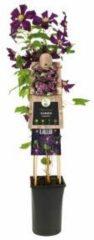 "Plantenwinkel.nl Donkerpaarse bosrank (Clematis ""Romantika"") klimplant - 4 stuks"