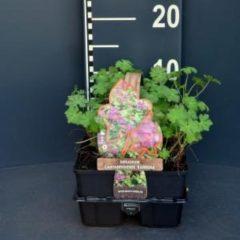 """Plantenwinkel.nl Ooievaarsbek (geranium cantabrigiense """"Karmina"""") bodembedekker - 6-pack - 1 stuks"""