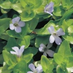 Moerings waterplanten Brede bacopa (Bacopa caroliniana) zuurstofplant - 10 stuks