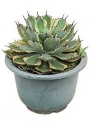 Plantenwinkel.nl Agave potatorum kamerplant