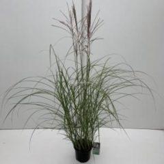 """Plantenwinkel.nl Prachtriet (Miscanthus sinensis """"Kleine Silberspinne"""") siergras - In 3 liter pot - 1 stuks"""