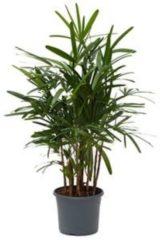 Plantenwinkel.nl Rhapis excelsa M bamboepalm kamerplant