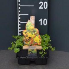 Plantenwinkel.nl Penningkruid (lysimachia nummularia) bodembedekker - 4-pack - 1 stuks