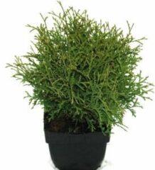 "Plantenwinkel.nl Westerse levensboom (Thuja occidentalis ""Tiny Tim"") conifeer - 6 stuks"