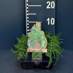 Plantenwinkel.nl Kaal breukkruid (herniaria glabra) bodembedekker - 6-pack - 1 stuks