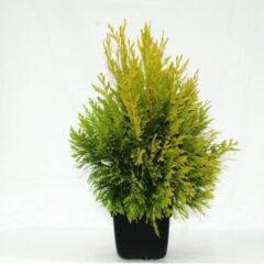 "Plantenwinkel.nl Reuzenlevensboom (Thuja plicata ""4ever Goldy"") conifeer - 6 stuks"