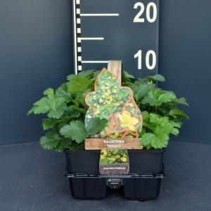 Afbeelding van Plantenwinkel.nl Goudaardbei (waldsteinia ternata) bodembedekker - 6-pack - 1 stuks