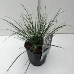 "Plantenwinkel.nl Lampenpoetsersgras (Pennisetum alopecuroides ""Little Bunny"") siergras - 6 stuks"