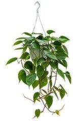 Plantenwinkel.nl Philodendron scandens S hangplant