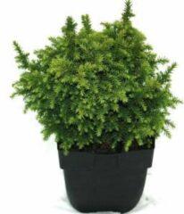"""Plantenwinkel.nl Sikkelden (Cryptomeria Japonica """"Vilmoriniana"""") conifeer - 6 stuks"""