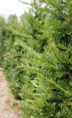 Groene Tuinexpress Taxus Baccata 40-60 cm