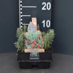 "Plantenwinkel.nl Lavendel (lavandula angustifolia ""Edelweiss"") bodembedekker - 4-pack - 1 stuks"