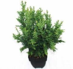 "Plantenwinkel.nl Schijncipres (Chamaecyparis obtusa ""Drath"") conifeer - 6 stuks"