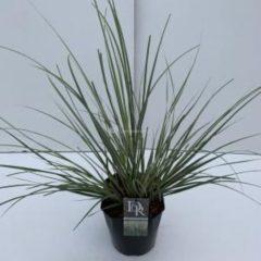 "Plantenwinkel.nl Dwergpampasgras (Cortaderia selloana ""Mini Silverpampas"") siergras - In 5 liter pot - 1 stuks"